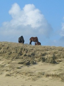 Wild horses on the beach.